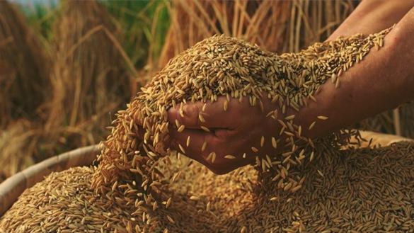 水稻农业大米丰收粮食丰收播种稻谷米饭稻田视频素材
